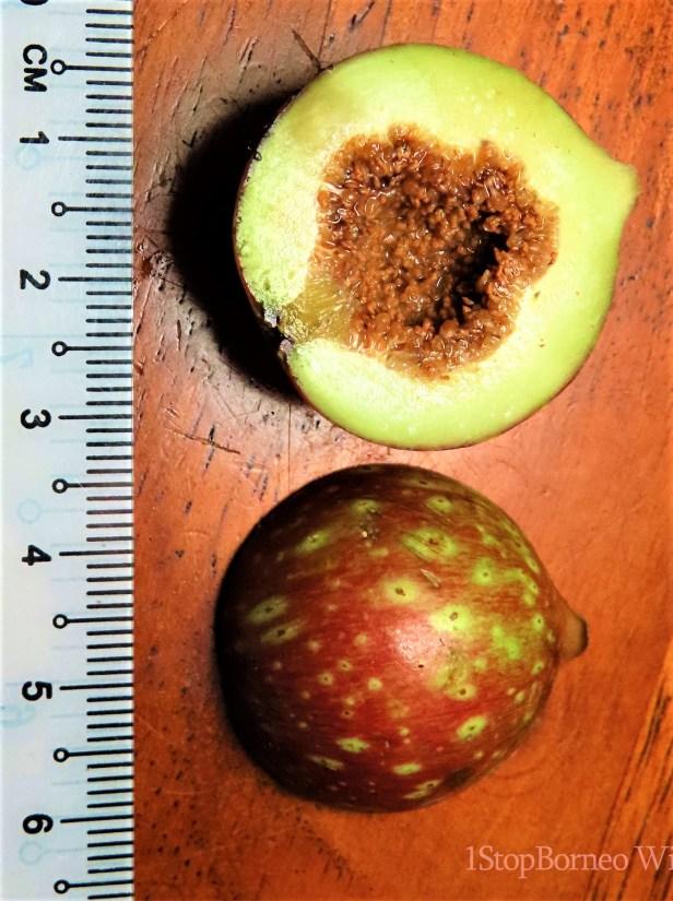 Ficus variegata red morph Gngt Andrassy (29).jpg