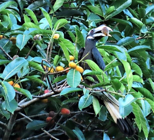 cucurb1_Hornbill Bushy.JPG