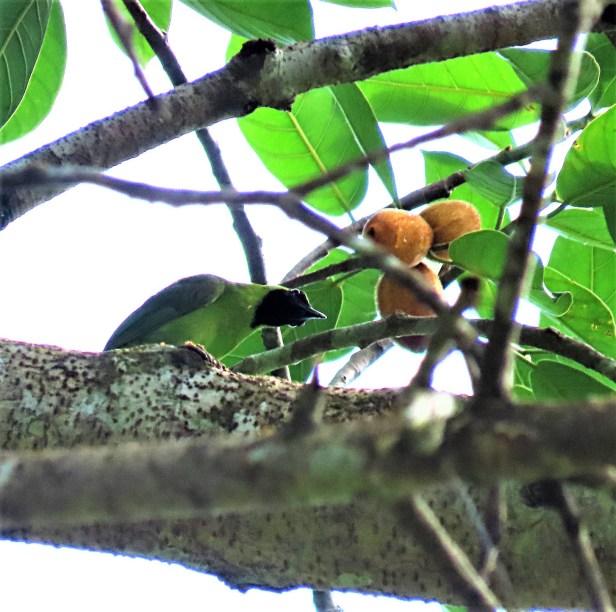 cucurb1_Leafbird3