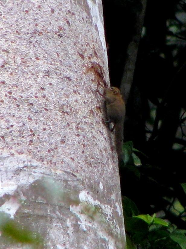 Bornean Pigmy Squirrel IMG_4752.jpg