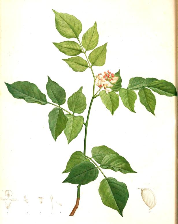 Pongamia pinnata or Millettia pinnata 217218 - Copy.jpg
