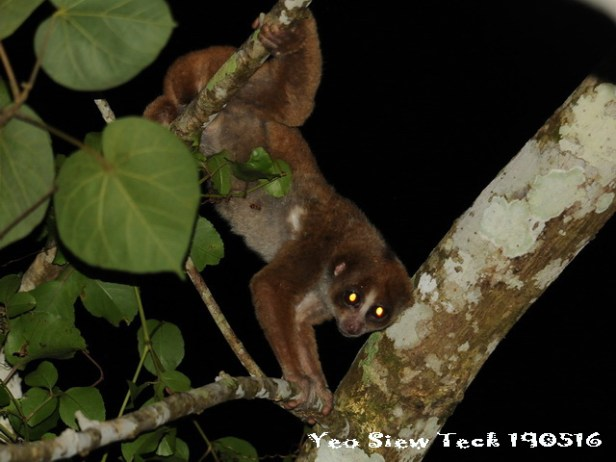 Slow Loris_resize