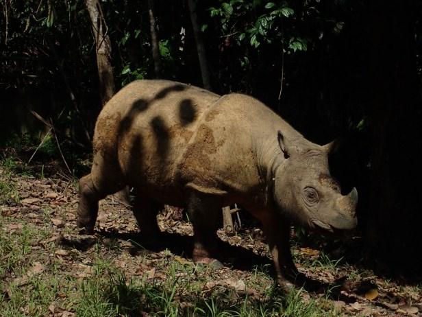 Sumatran rhino,Tam.Tabin Oct. 2018 AP .JPG