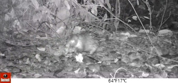 web 001 Bornean Porcupine carrying_belian fruit