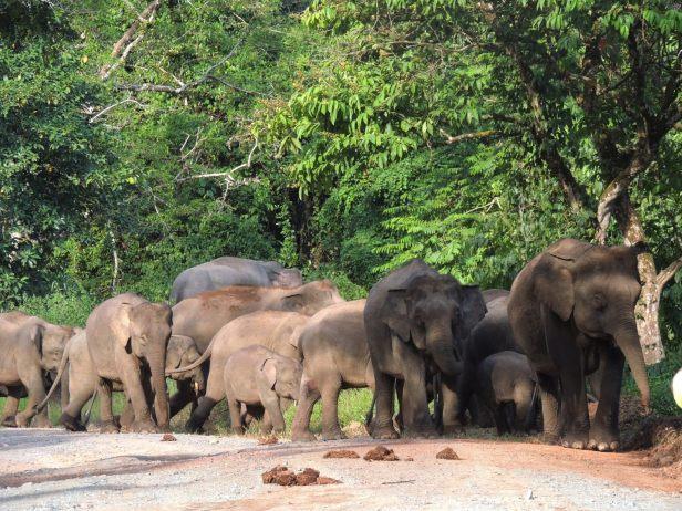 x Elephant herd Tabin