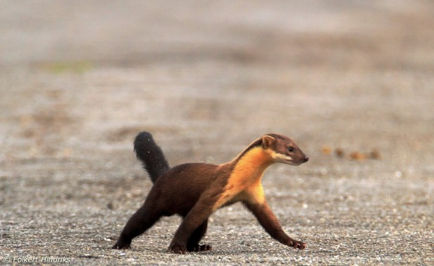 yellow_throated_marten_2 Hindricks Brunei