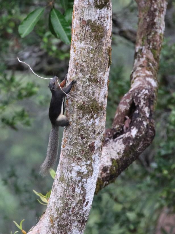 01 Prevosts Squirrel Belalong Canopy Walkway 0C7A1503.JPG