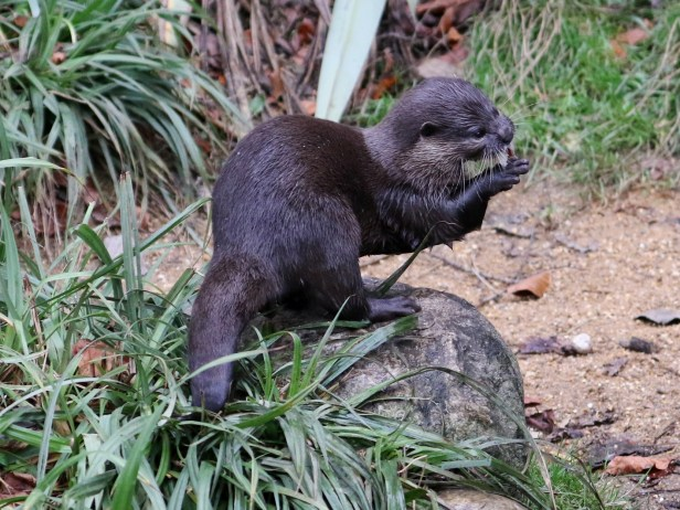 02 Small-clawed Otter 3Y3A7127