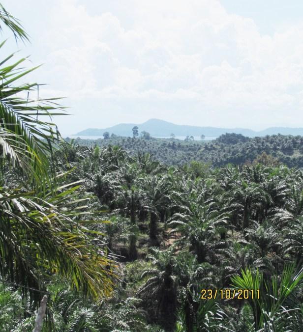 08 Oil Palm IMG_5468.JPG