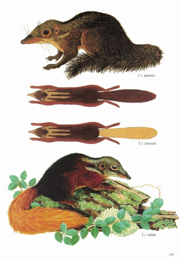 151-154 Treeshrews original.jpg