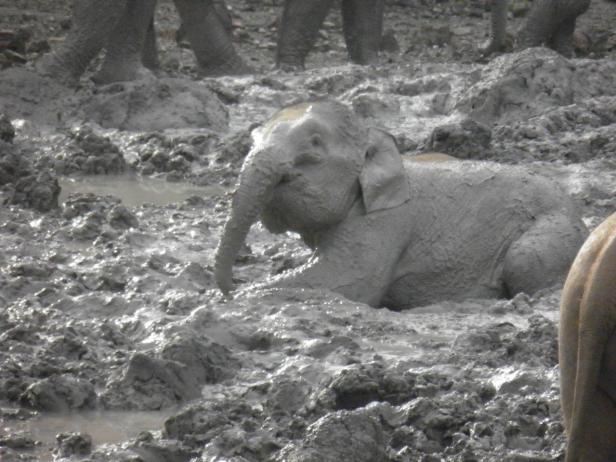 Elephants in the Mud Volcano 1.jpg