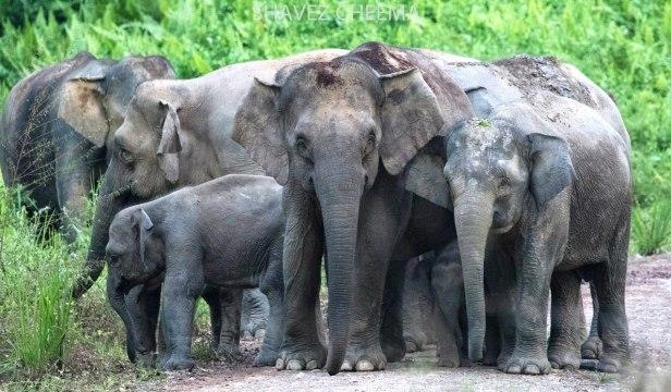Borneo elephant family 3N1A6885.jpg