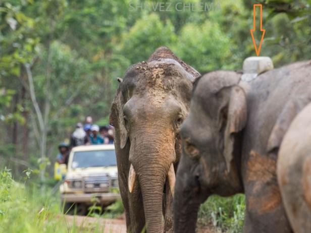 Borneo elephant research  3.jpg