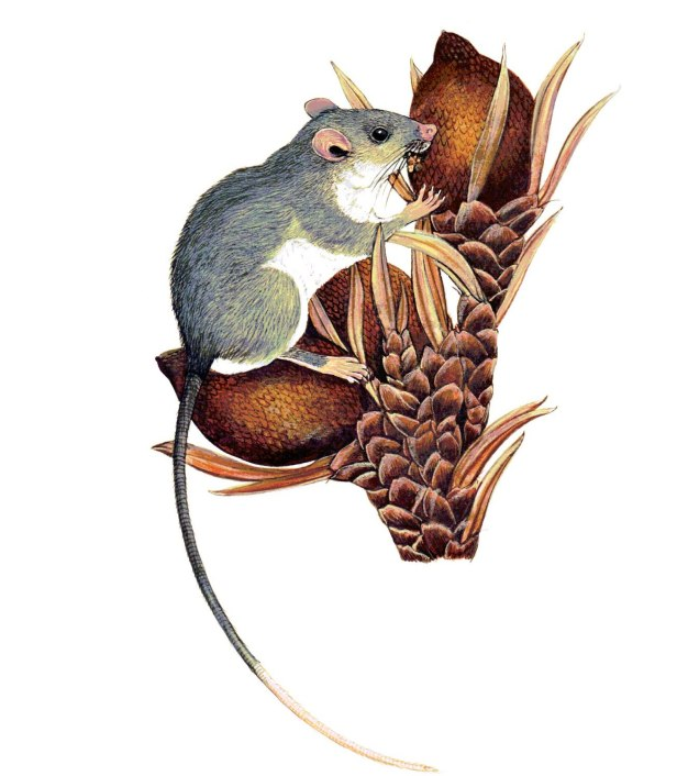 Lenothrix canus  Grey Tree Rat pi - Copy - Copy.jpg