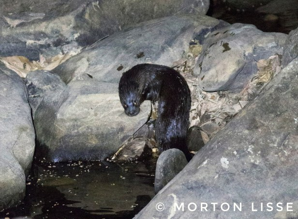 Hairy Nosed Otter 2