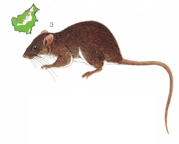 ILLUS Ricefield Rat
