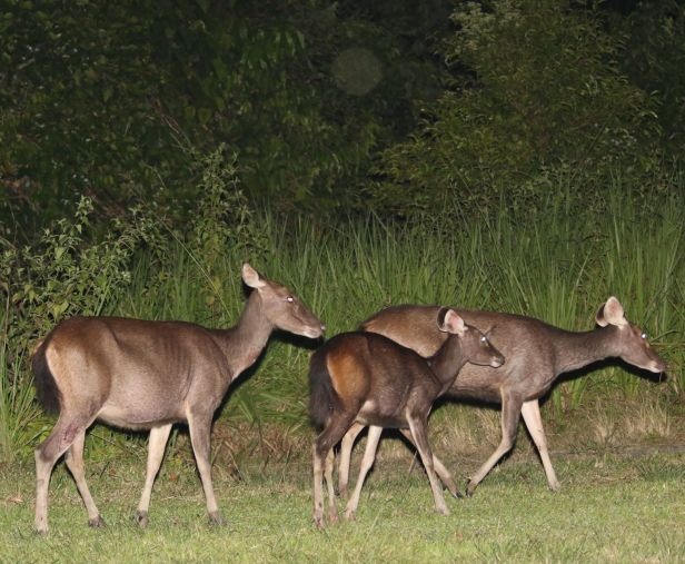 02 Sambar Deer at Maliau 3Y3A2290.JPG