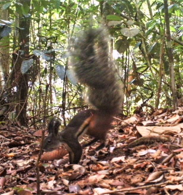 Tufted Ground Squirrel Shavez halfpage.jpg