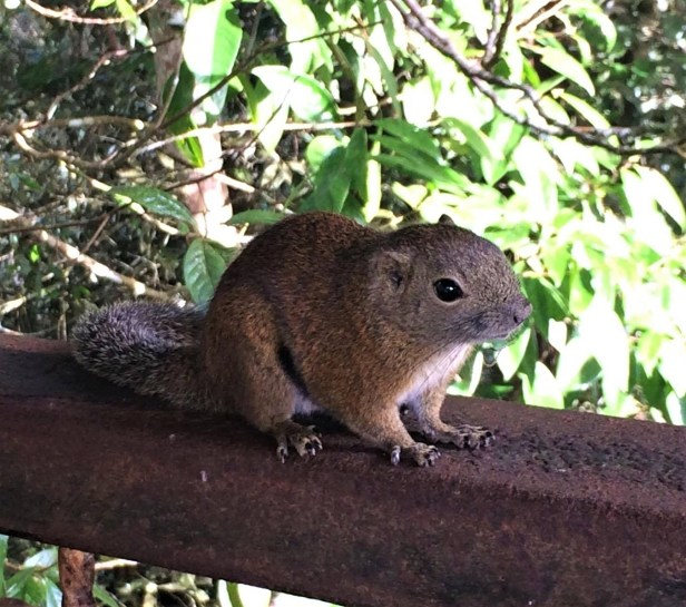Tame Horse-tailed Squirrel Ranau by Celine Ng