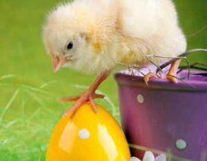 påske kylling