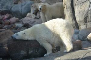 isbjørne i Zoo vinterferiens udflugter ide