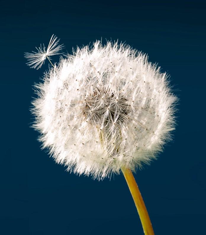 astma og pollen