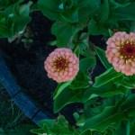 Haven i juni - Zinnia