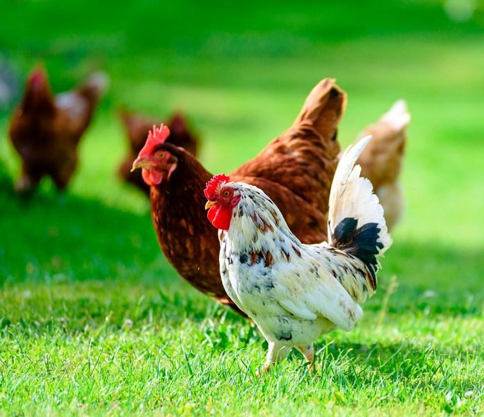 økologi i hverdagen - høns