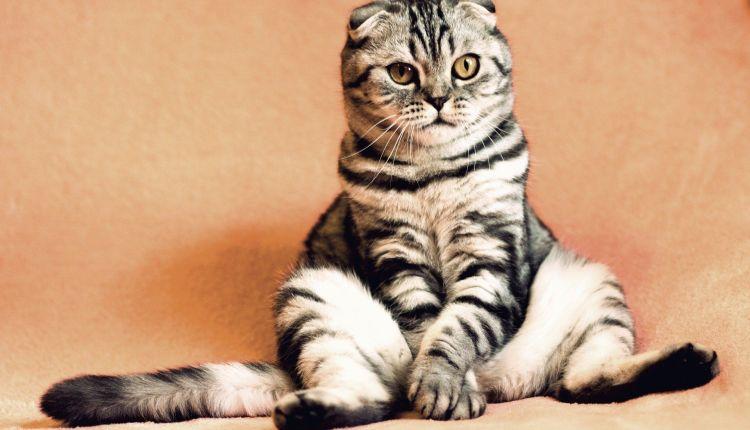 ILUSTRASI; Seekor kucing tertular corona (Foto: Internet)