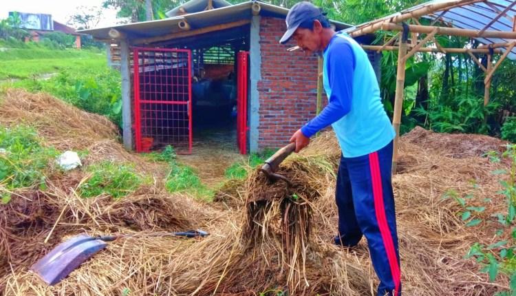Proses pembuatan pupuk organik dari limbah sapi