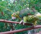 Amazona-nuquigualda-(6)