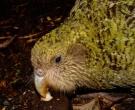 Kakapo-(2)
