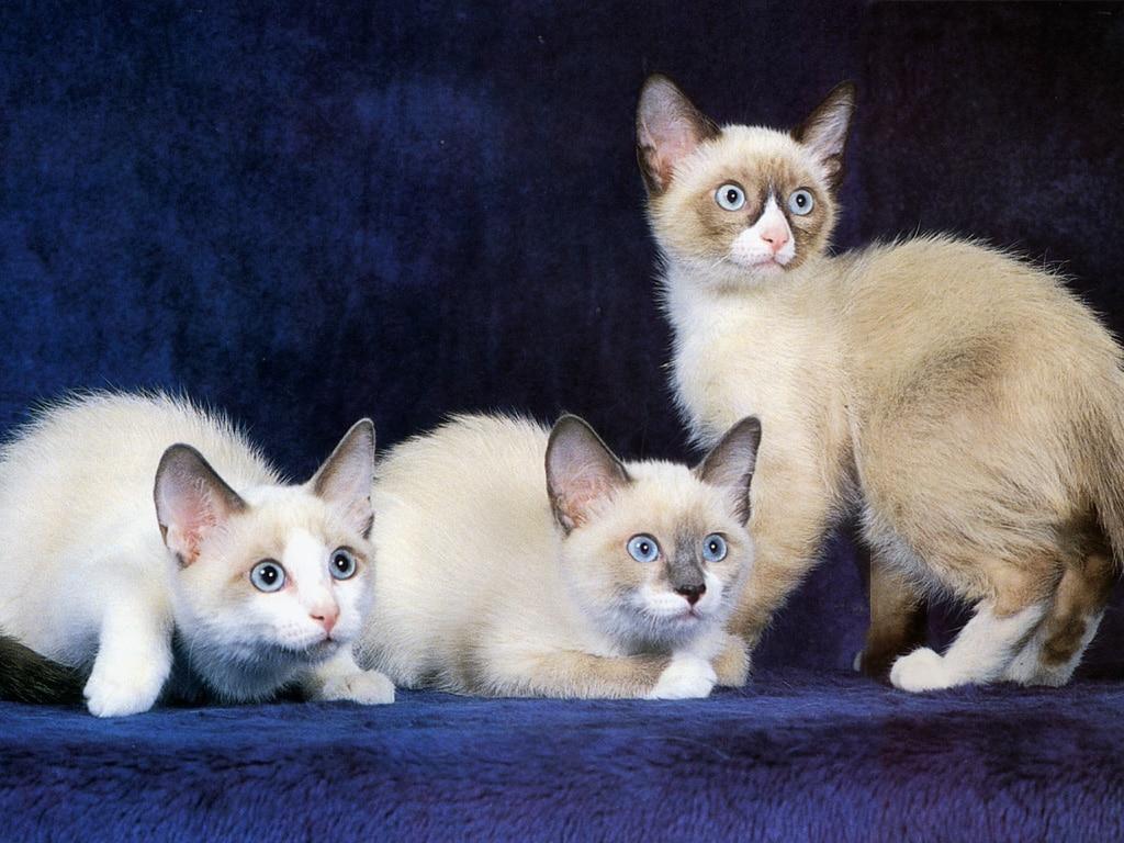 Gatos-Snowshoe