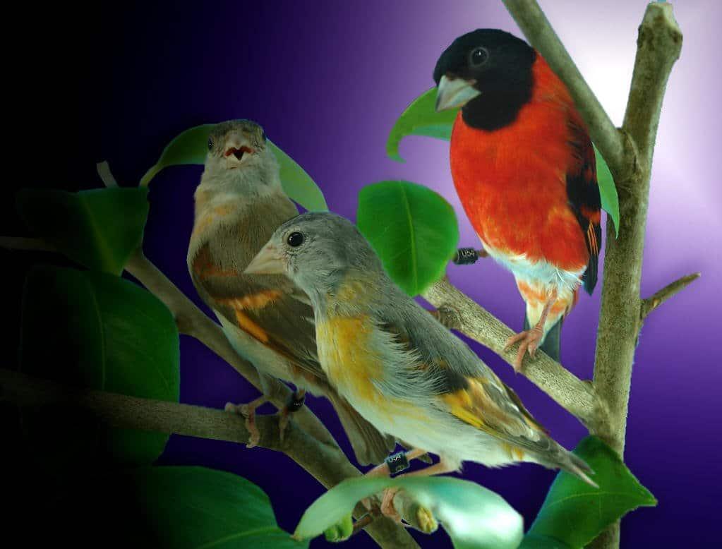 trio_cardenalitos