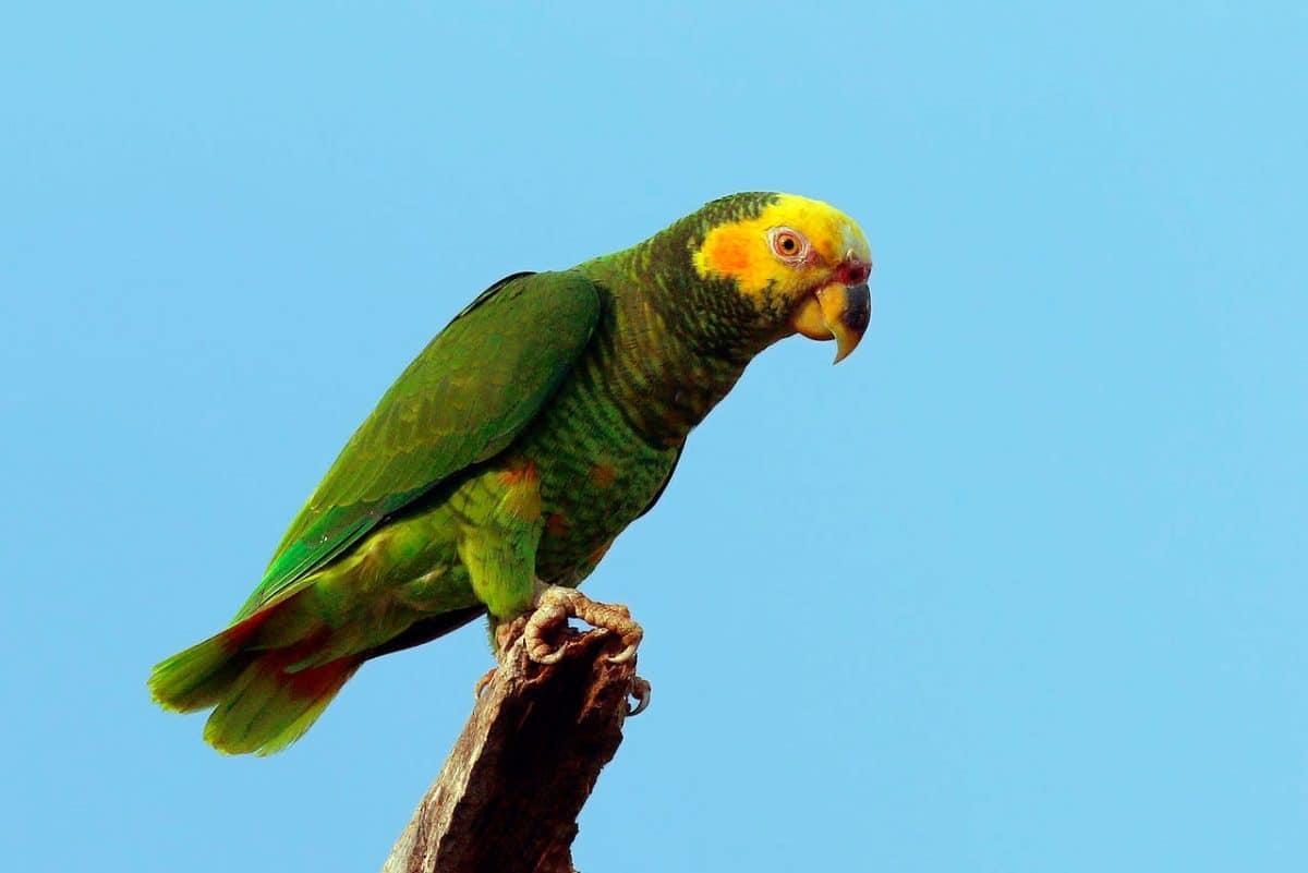 Amazona del Cerrado