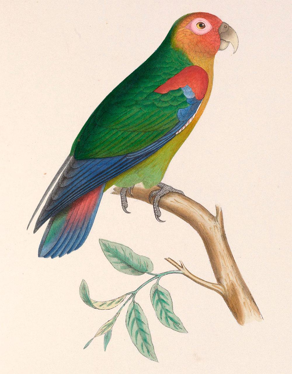 Lorito Amazonino