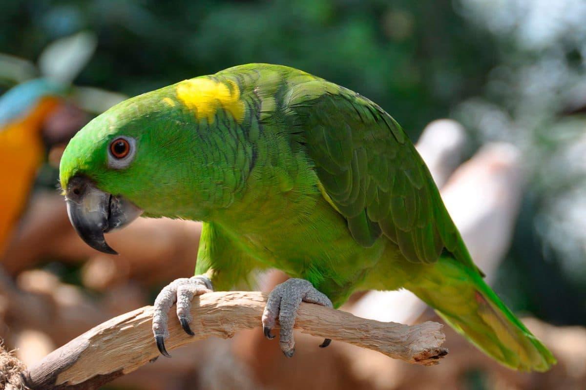 Amazona nuquigualda