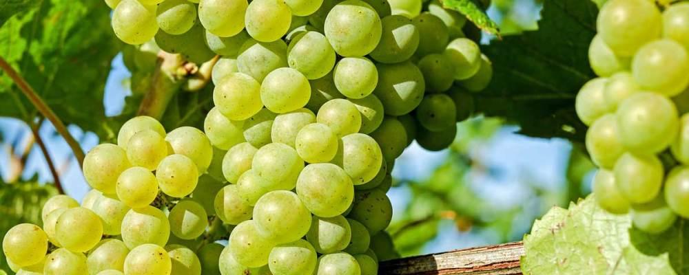Ezerjó szőlő