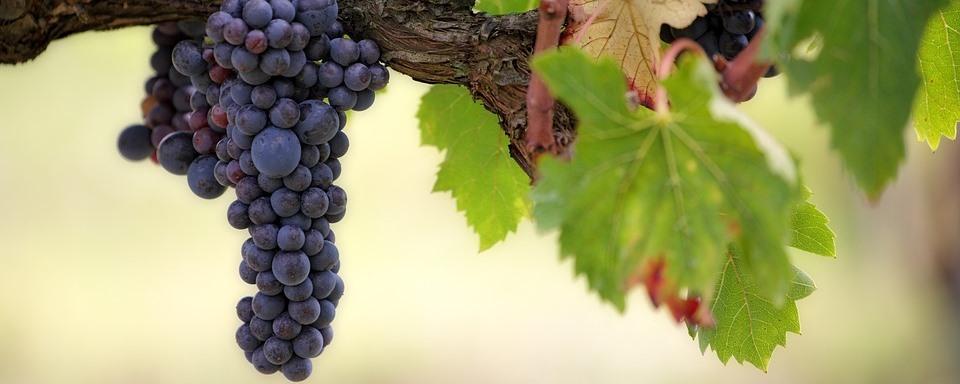 Pinot Noir szőlő