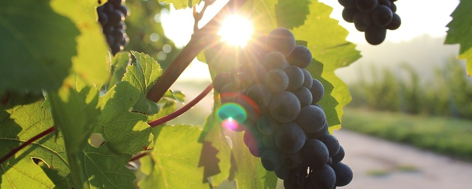 Portugieser szőlő