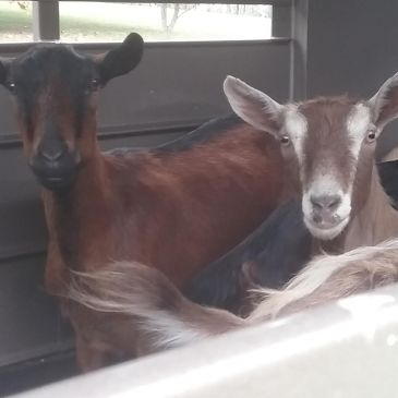 An Ode to the Bard Goats