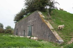 Schapen op Batterij Brakel, een niet-opengesteld fort dat Staatsbosbeheer aan de natuur overlaat.