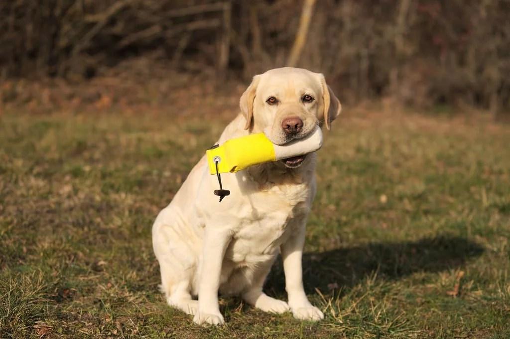 Addestramento cani riporto sportivo