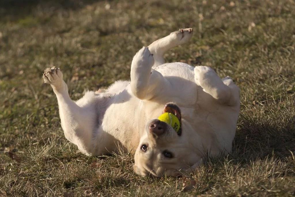Educazione addestramento cani labrador retriever