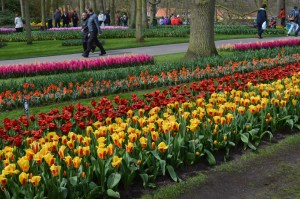 beds of tulips