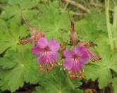 geranium tuinvarieteit (1)