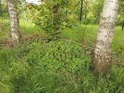 geranium tuinvarieteit