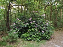 rhododendron (1)