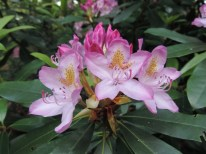 rhododendron (11)