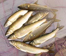 久慈川のアユ釣果